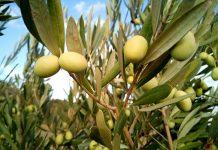 L'olivo, annuncio di Pasqua e di pace