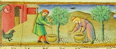 Olivo, la raccolta nell'antichità