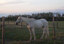 I cavalli si affezionano alle persone?