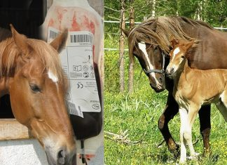 Torture suffered by mares