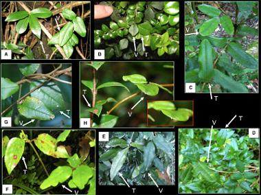 La Boquilla Trifoliata