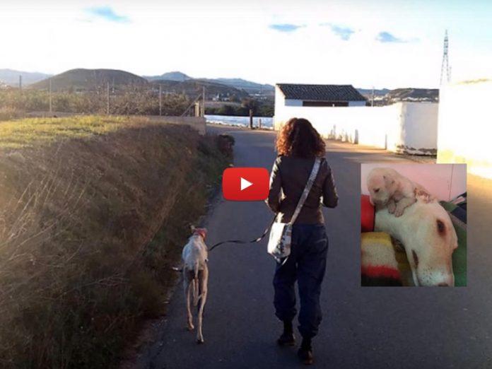 greyhound salva i suoi dieci cuccioli