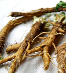 radici di cicoria