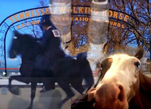 Il Soring, i cavalli americani e il presidente Trump