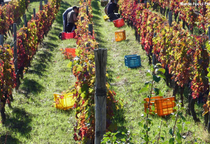 TITOLO storia di un vino di successo la raccolta