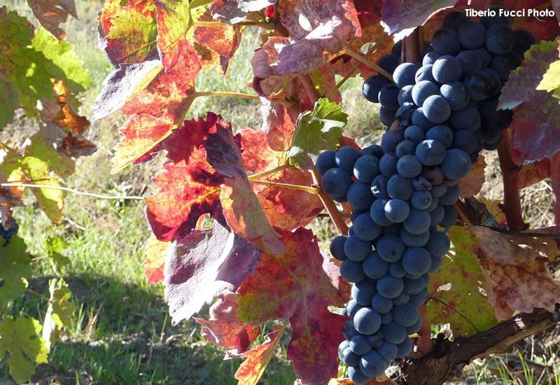 TITOLO storia di un vino di successo l'uva