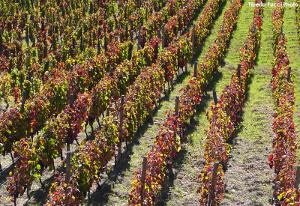 TITOLO storia di un vino di successo le vigne