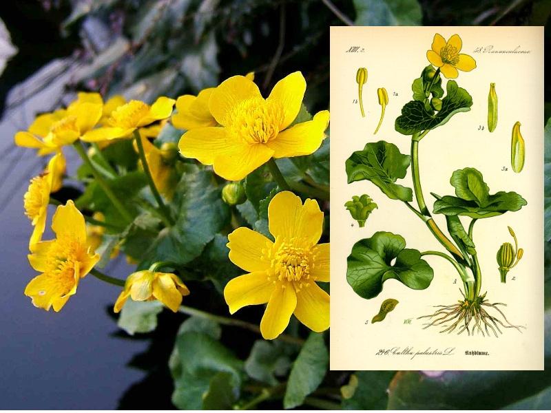 La calta palustre, l'erba gialla felicità di maggio
