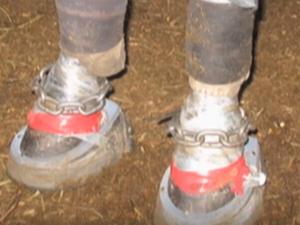 La pratica del soring sui cavalli, come sono trattati gli zoccoli