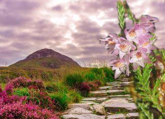 La pianta di erica, il colore celtico della brughiera