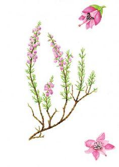 La pianta dell'erica