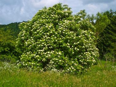 Sambuco pianta