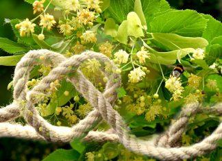 Il tiglio, l'albero delle corde e del cuore