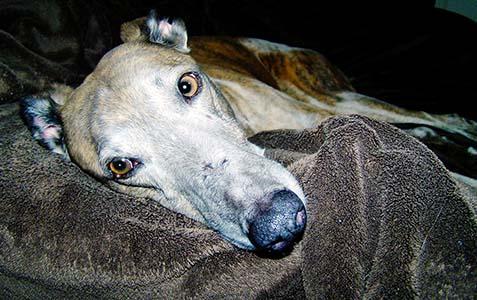 Levriero, cane adottato nella casa di riposo