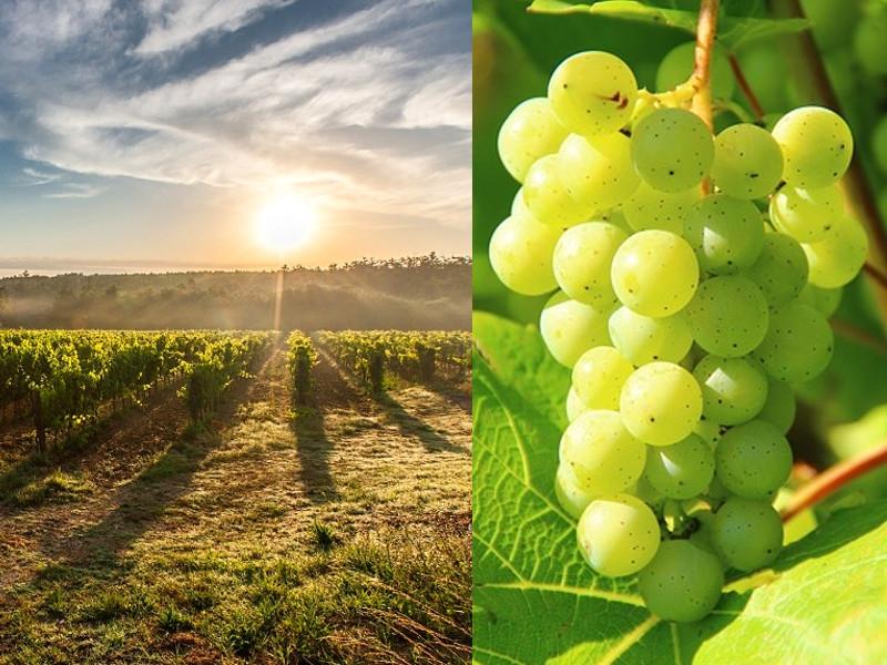 Settembre: tempo d'uva