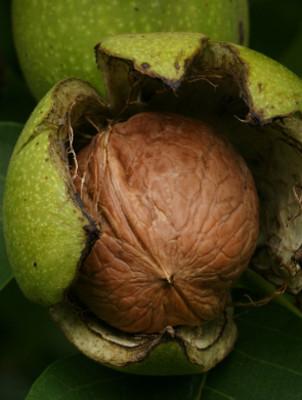 Noce frutto