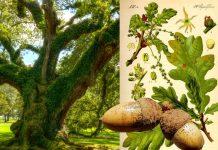 La quercia, chiave dell'universo