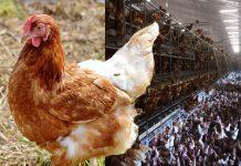 Galline, uova e un dubbio