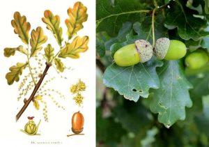 Quercia principi attivi del Quercus Robur