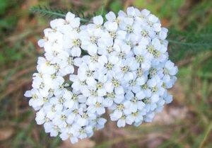 Achillea, fiori
