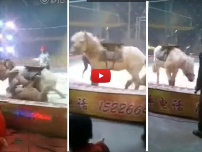 Cavallo in un circo cinese attaccato da una leonessa e da una tigre