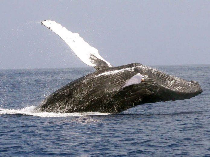 Così si uccide una balena