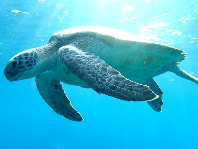 Le tartarughe verdi femmina