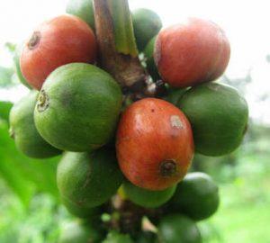 Il commercio equo nel caffè: il progetto Omukwano di Caffè River in Uganda le drupe