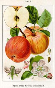 Il melo dai frutti prodigiosi 2 erboristeria