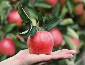 Il melo, frutto la mela