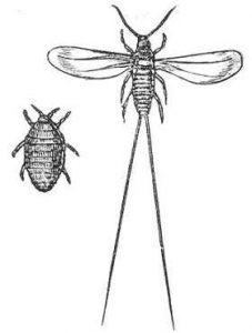 La cocciniglia insetto del carminio della cocciniglia