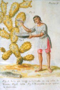 La cocciniglia, la raccolta degli Aztechi