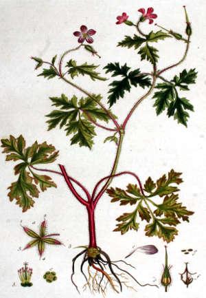erba roberta Geranium robertianum 02