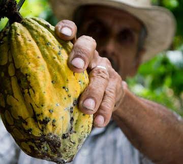 la produzione di cioccolato è in pericolo, la raccolta
