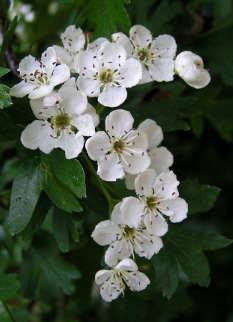 Il biancospino, i fiori