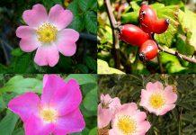 Rose d'Irlanda