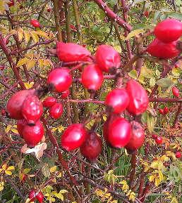 Rose d'Irlanda: i falsi frutti della rosa canina