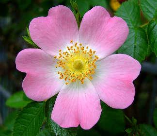 Rose d'Irlanda: la rosa canina L.
