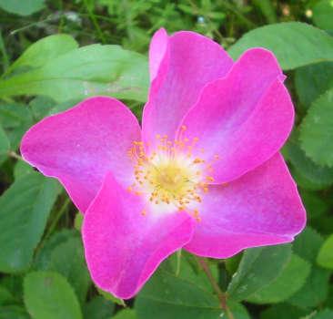 Rose d'Irlanda: la rosa gallica L.