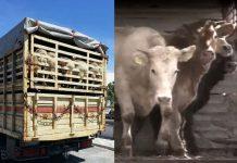 Cosa c'è dietro una bistecca: il trasporto di animali vivi
