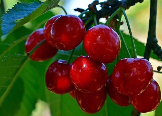 ciliegio Prunus cerasus L frutti
