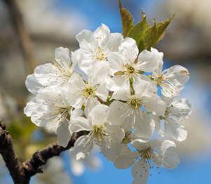 Ciliegio Prunus cerasus, fiori