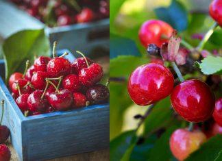 ciliegio Prunus cerasus frutti