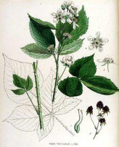 Rubus fruticosus, il Rovo