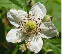 Il rovo fiore
