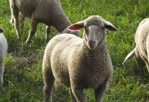 Le pecore risolveranno i problemi di giardinaggio nelle città