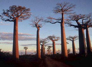 Il Baobab, il vecchio saggio dell'Africa che sta morendo