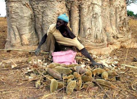Un anziano con frutti di Baobab