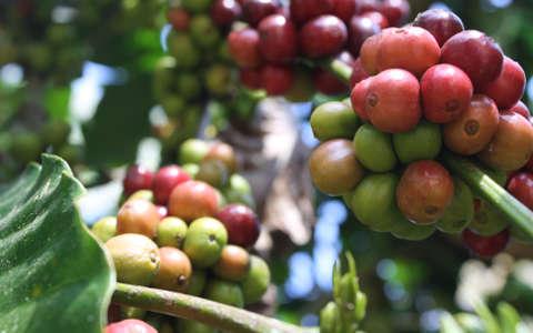 Qualità Toro Caffè: le drupe