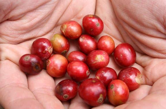 Toro Caffè le drupe e la qualità